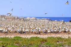 Moltitudine del gabbiano sull'isola di uccello Immagini Stock