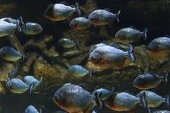 Moltitudine del pesce dei piranha Immagini Stock Libere da Diritti