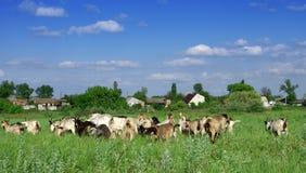Moltitudine della capra Immagine Stock