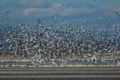 Moltitudine delle oche polari in volo Fotografie Stock Libere da Diritti