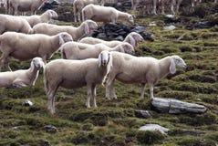 Moltitudine delle pecore Immagini Stock