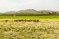 Moltitudine delle pecore che pasce nel campo erboso Fotografie Stock Libere da Diritti