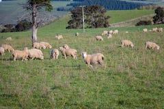 Moltitudine delle pecore della Nuova Zelanda Immagini Stock Libere da Diritti
