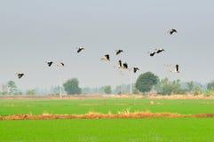 Moltitudine di aironi che volano nel cielo Fotografia Stock
