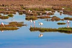 Moltitudine di alimentazione di Lesser Flamingos fotografia stock