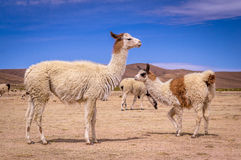 Moltitudine di alpaca delle lame in altiplano Fotografia Stock Libera da Diritti