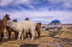 Moltitudine di alpaca delle lame in altiplano con 4x4 Fotografie Stock