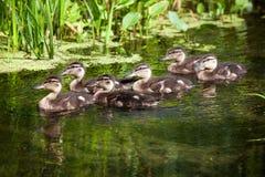 Moltitudine di anatre selvatiche che nuotano in uno stagno Immagini Stock Libere da Diritti