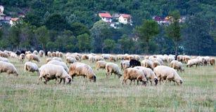 Moltitudine di animale da allevamento delle pecore Fotografia Stock