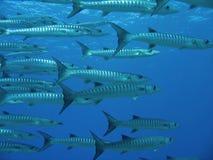 Moltitudine di barracuda in oceano Pacifico tropicale naturale nelle Filippine Fotografie Stock