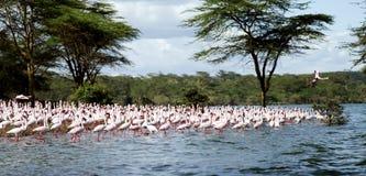 Moltitudine di bello Lesser Flamingos fotografia stock
