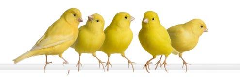 Moltitudine di canarino giallo - Serinus canaria sul suo pe immagine stock