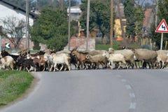Moltitudine di capre che migrano dalla montagna alla pianura, Po Vall fotografia stock libera da diritti
