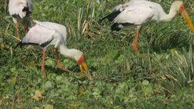 Moltitudine di cicogna fatturata gialla attirare alimento spillando terra nella riserva di caccia di Mara dei masai video d archivio