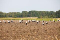 Moltitudine di cicogne bianche Fotografie Stock Libere da Diritti