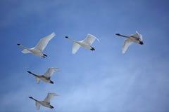 Moltitudine di cigni del trombettista che volano nella formazione di V Fotografie Stock Libere da Diritti