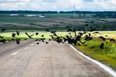 Moltitudine di corvi sulla strada Immagini Stock Libere da Diritti