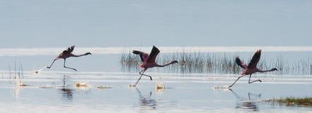 Moltitudine di decollo dei fenicotteri kenya l'africa Nakuru National Park Riserva nazionale di Bogoria del lago Fotografia Stock Libera da Diritti