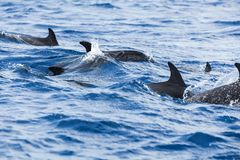 Moltitudine di delfini comuni che nuotano Fotografie Stock Libere da Diritti