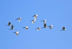 Moltitudine di egret dei egrets Fotografie Stock Libere da Diritti