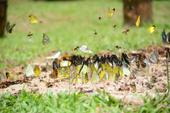 Moltitudine di farfalle Immagine Stock