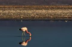 Moltitudine di fenicotteri in peperoncino rosso dell'Atacama fotografie stock