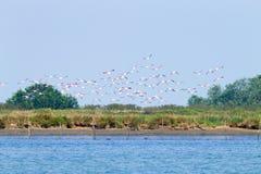 Moltitudine di fenicotteri rosa Laguna del Po Fotografia Stock Libera da Diritti