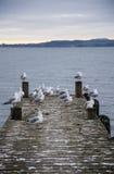 Moltitudine di gabbiani ad un pilastro che considera il lago il Distretto di Rotorua Immagini Stock Libere da Diritti