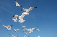Moltitudine di gabbiani di mare Fotografie Stock