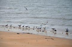 Moltitudine di gabbiani su una spiaggia Fotografia Stock
