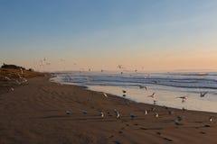 Moltitudine di gabbiani sulla spiaggia abbandonata ad alba Fotografie Stock