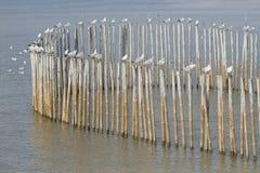 Moltitudine di gabbiano sul palo di bambù Immagini Stock Libere da Diritti