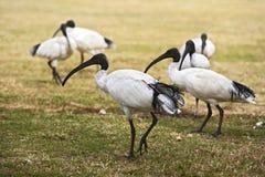 Moltitudine di ibis bianco australiano Fotografie Stock