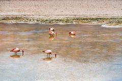 Moltitudine di James Flamingos che si alimenta nel lago Canapa fotografia stock libera da diritti