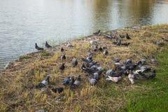 Moltitudine di lotta dei piccioni sopra un pane immagini stock libere da diritti
