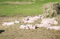Moltitudine di maiali in una bio- azienda agricola fotografia stock