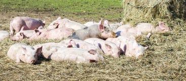 Moltitudine di maiali in una bio- azienda agricola fotografia stock libera da diritti