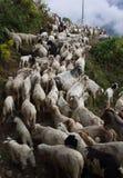 Moltitudine di mountaingoats Fotografie Stock