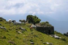 Moltitudine di mucche Fotografia Stock Libera da Diritti