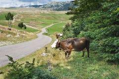 Moltitudine di mucche fotografie stock libere da diritti