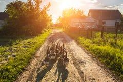 Moltitudine di oche al tramonto nel villaggio Fotografie Stock