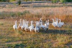 Moltitudine di oche che pascono sull'erba nel campo di estate al tramonto Immagine Stock