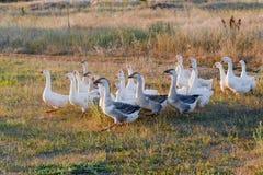 Moltitudine di oche che pascono sull'erba nel campo di estate al tramonto Immagine Stock Libera da Diritti