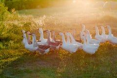 Moltitudine di oche che pascono sull'erba nel campo di estate al tramonto Immagini Stock Libere da Diritti