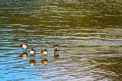 Moltitudine di oche del Canada a Pitt Lake vicino alla città dell'acero Ridge in Fraser Valley della Columbia Britannica Fotografia Stock Libera da Diritti
