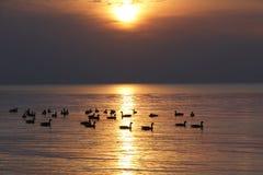 Moltitudine di oche del Canada sul lago Huron al tramonto Immagini Stock Libere da Diritti