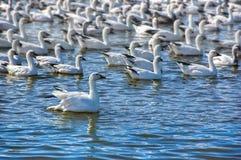 Moltitudine di oche polari su un lago Fotografia Stock