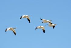 Moltitudine di oche polari in volo, migrazione immagine stock