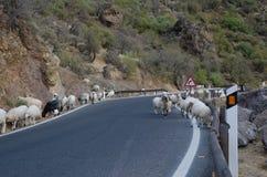 Moltitudine di ovis aries delle pecore sulla strada Fotografia Stock