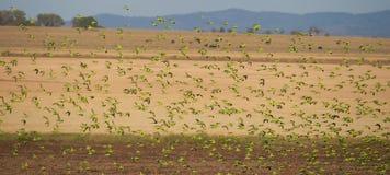 Moltitudine di pappagallini ondulati australiani selvaggi Fotografia Stock
